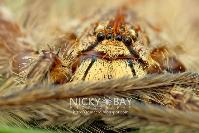 Huntsman Spider (Sparassidae) - DSC_2690