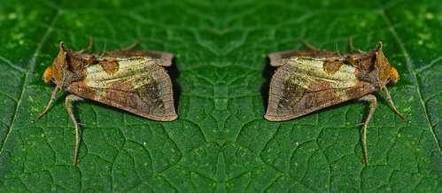 2434a Burnished Brass Diachrysia chrysitis Ab Pegwell Garden by Kinzler Pegwell