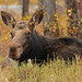 Cow Moose in the Fall - 3573b+