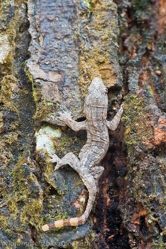 Juvenile. Malayan frill gecko (Hemidactylus craspedotus) IMG_4774 copy