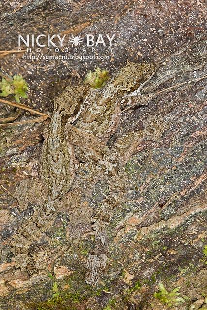 Kuhl's Flying Gecko (Ptychozoon kuhli) - DSC_9293
