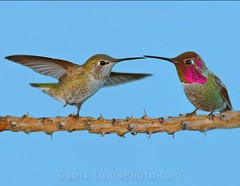 Two Annas Hummingbirds