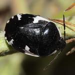 hatfoltos földipoloska - Tritomegas sexmaculatus