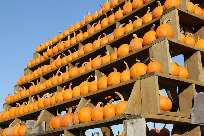 pumpkin_rows