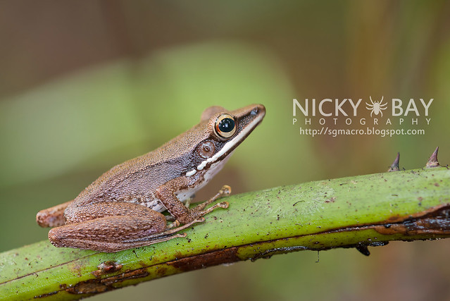 Copper-cheeked Frog (Hydrophylax raniceps) - DSC_7773