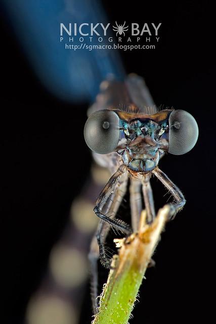 Damselfly (Zygoptera) - DSC_7234