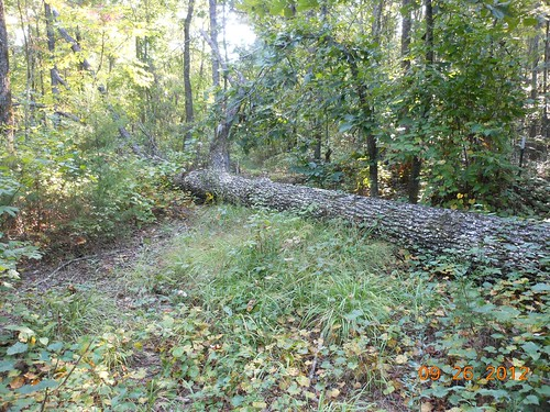 <p>This tree was on the neighbors property but fell at some point onto our land.  Firewood for camp!</p>
