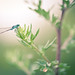 Agrion du matin / Damsel fly in the morning light ©GnondPomme