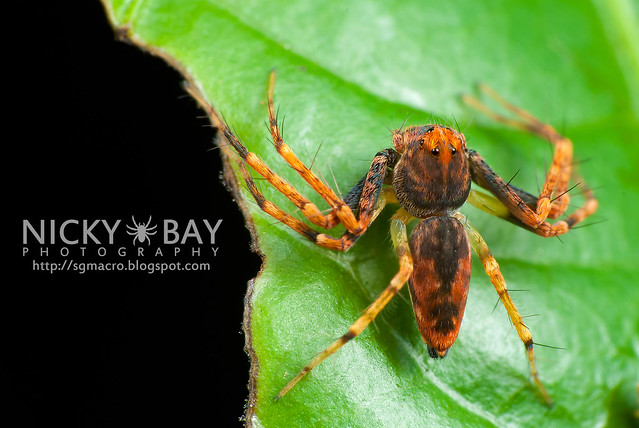 Lynx Spider (Oxyopidae) - DSC_4489
