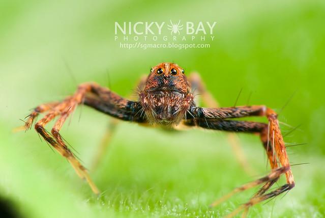 Lynx Spider (Oxyopidae) - DSC_4464