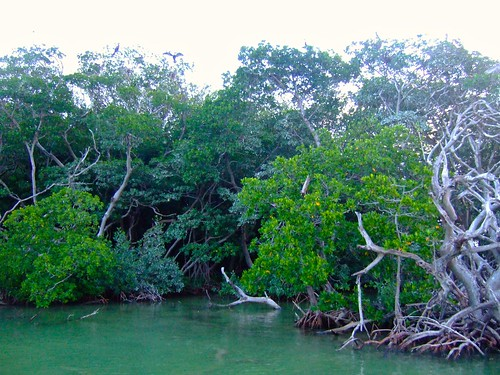 florida keys birds nesting rookery mangrove