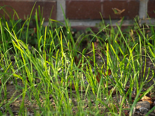leek seedling фото