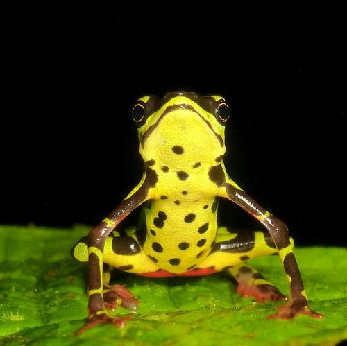 <i>Atelopus</i>  sp. (complejo <i> spumarius</i>) Arlequín espumoso