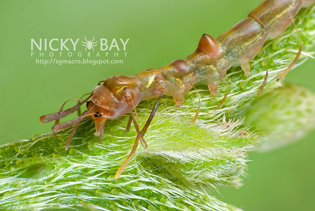 Owlet Moth larva (Homodes sp.) - DSC_2624