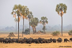 Cape or African Buffaloes, Liwonde NP, Malawi