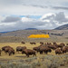 Bison herd in Yellowstone National Park by scepdoll