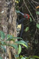 White-bellied Woodpecker - Baluran NP - East Java_MG_8574