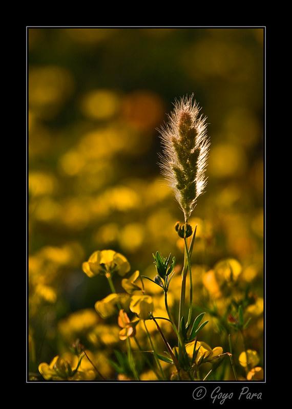 Espiga sobre amarillo