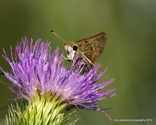 flower butterfly insect thistle bloom grasshopper wildflower