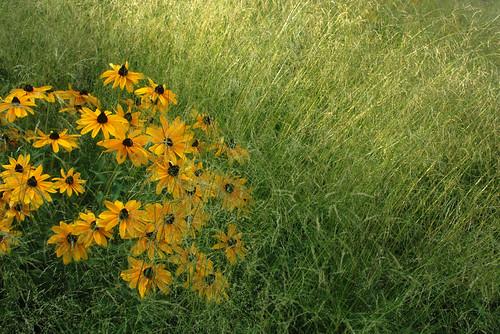 flowers summer green yellow montréal grasses blackeyedsusans jardinbotanique cmwd cmwdgreen
