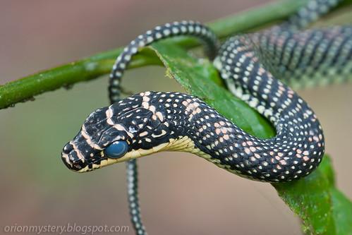 Paradise tree snake (<i>Chrysopelea paradisi</i>) IMG_9844 copy