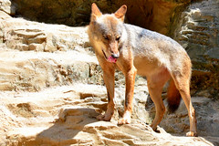 kit fox(0.0), animal(1.0), dingo(1.0), red wolf(1.0), street dog(1.0), mammal(1.0), jackal(1.0), grey fox(1.0), fauna(1.0), wolfdog(1.0), dhole(1.0), coyote(1.0), wildlife(1.0),