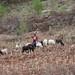 Girl grazing sheep - Muchacha pastoreando ovejas en la salida de Santiago Tilantongo hacia Monte Negro, Región Mixteca, Oaxaca, Mexico