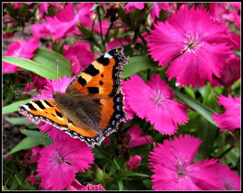 2233   Butterfly