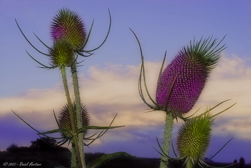 sunset flower grass colorado purple thistle flash coloradosprings effect orton d60 ortoneffect