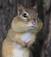 [フリー画像素材] 動物 1, 栗鼠・リス ID:201209141000