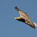 White-tailed Eagle (Bryan Rains)