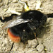 Bombus lapidarius (Red-tailed Bumblebee)