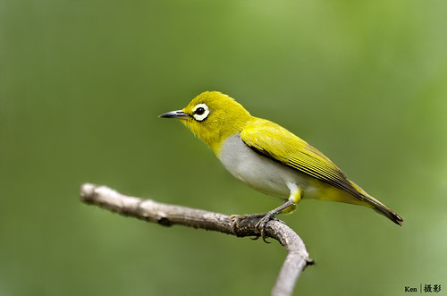 (Explored) Oriental White Eye on perch #3