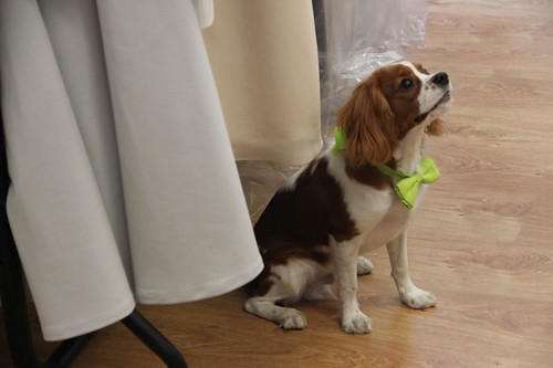 King Charles spaniel puppy