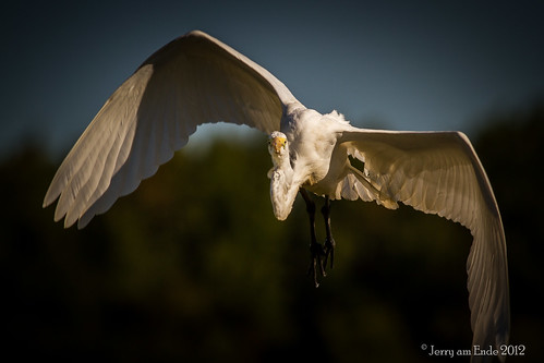 birds egret greategret birdinflight bombayhook