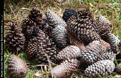 arecales(0.0), branch(0.0), tree(0.0), food(0.0), plant(1.0), produce(1.0), conifer cone(1.0), spruce(1.0),