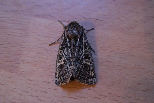 Feathered Gothic (Tholera decimalis)