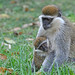 Grivet Monkey with Baby (Tim Melling)