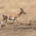Soemmerring's Gazelle (Tim Melling)