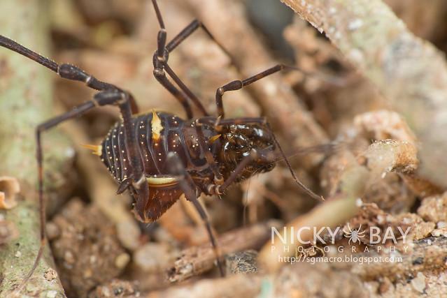 Harvestman (Opiliones) - DSC_2178