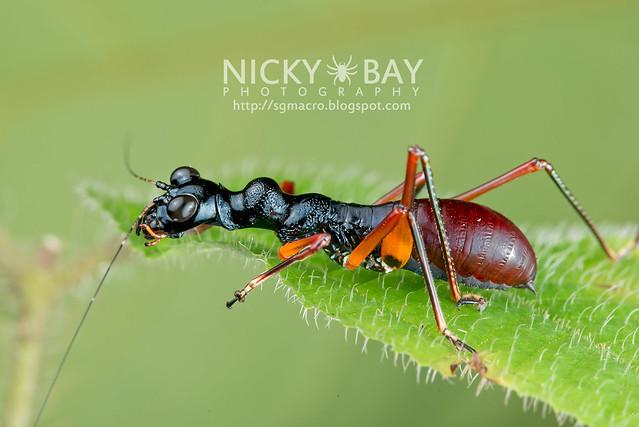 Tiger Beetle-Mimic Katydid (Condylodera tricondyloides) - DSC_1741