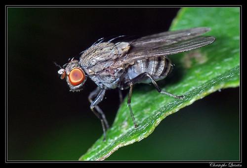Minettia sp. groupe fasciata