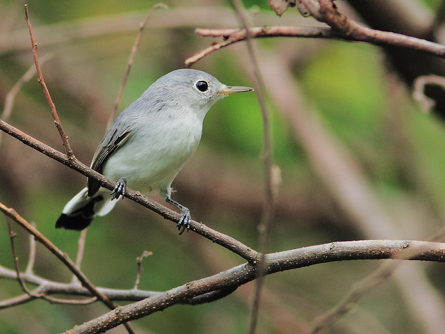 Blue-gray Gnatcatcher 20120919
