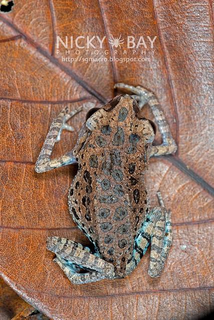 Black-eyed Litter Frog (Leptobrachium nigrops) - DSC_1465
