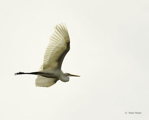 Tampa Bay  Egret