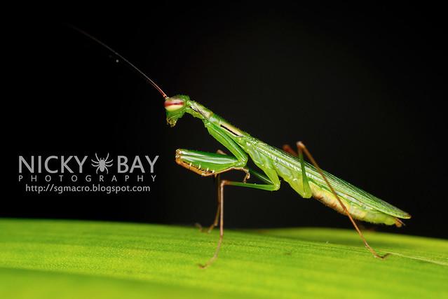 Praying Mantis (Mantodea) - DSC_6278