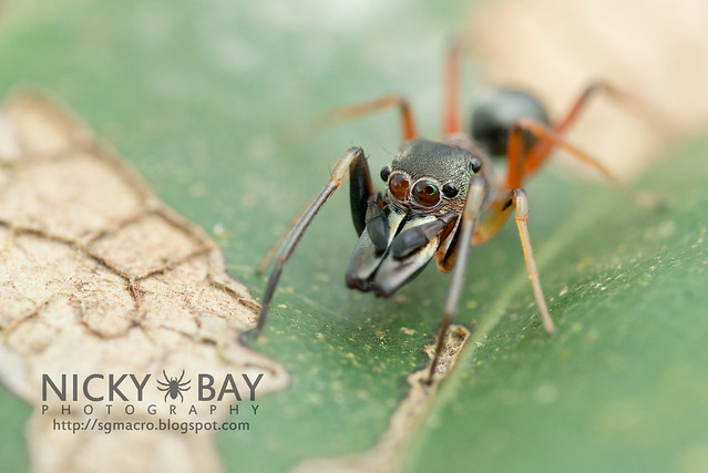 Ant-Mimic Jumping Spider (Salticidae) - DSC_6068
