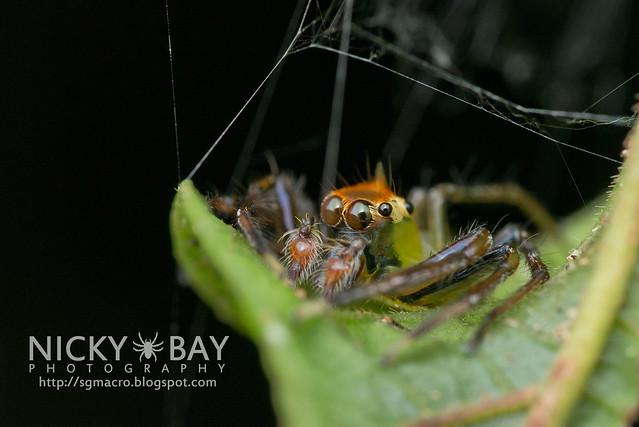 Jumping Spider (Epeus flavobilineatus) - DSC_5778