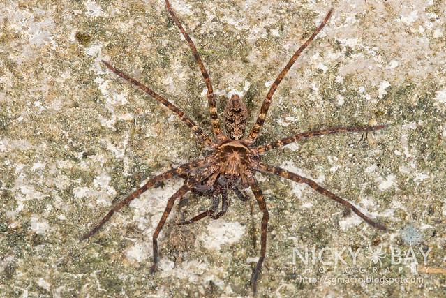 Huntsman Spider (Sparassidae) - DSC_5398