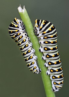 pair of Black swallowtail caterpillars on fennel stalk